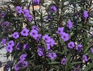 Ruellia-brittoniana-Mx-petunia-2-e1416579915505