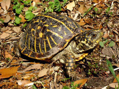 ornate-box-turtle2